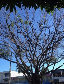 Flying Foxes (bats) live in the town as well