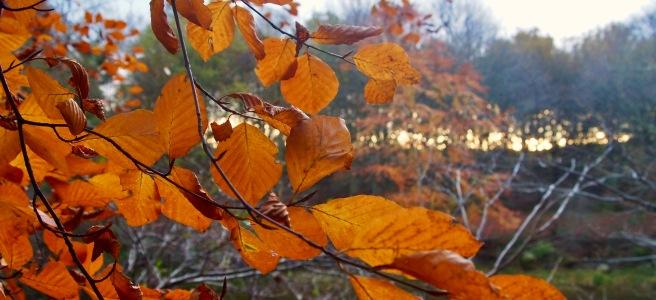 Orange autumnal leaves, beech