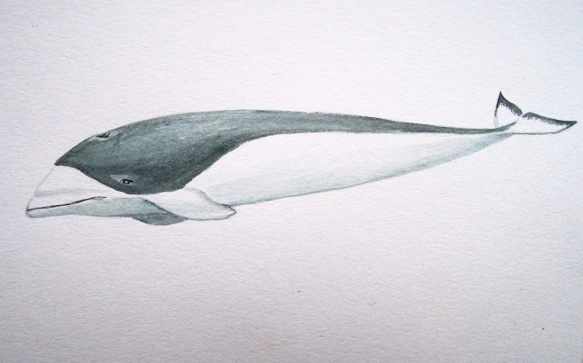 Mealy-mouthed aka southern right whale dolphin