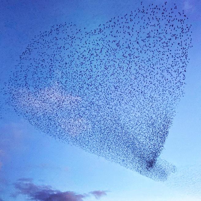 Starling murmuration forming a heart