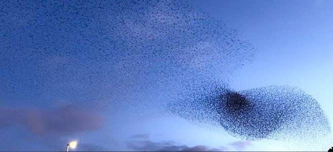 Starling murmuration creating waves