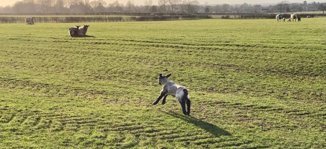 lamb running away